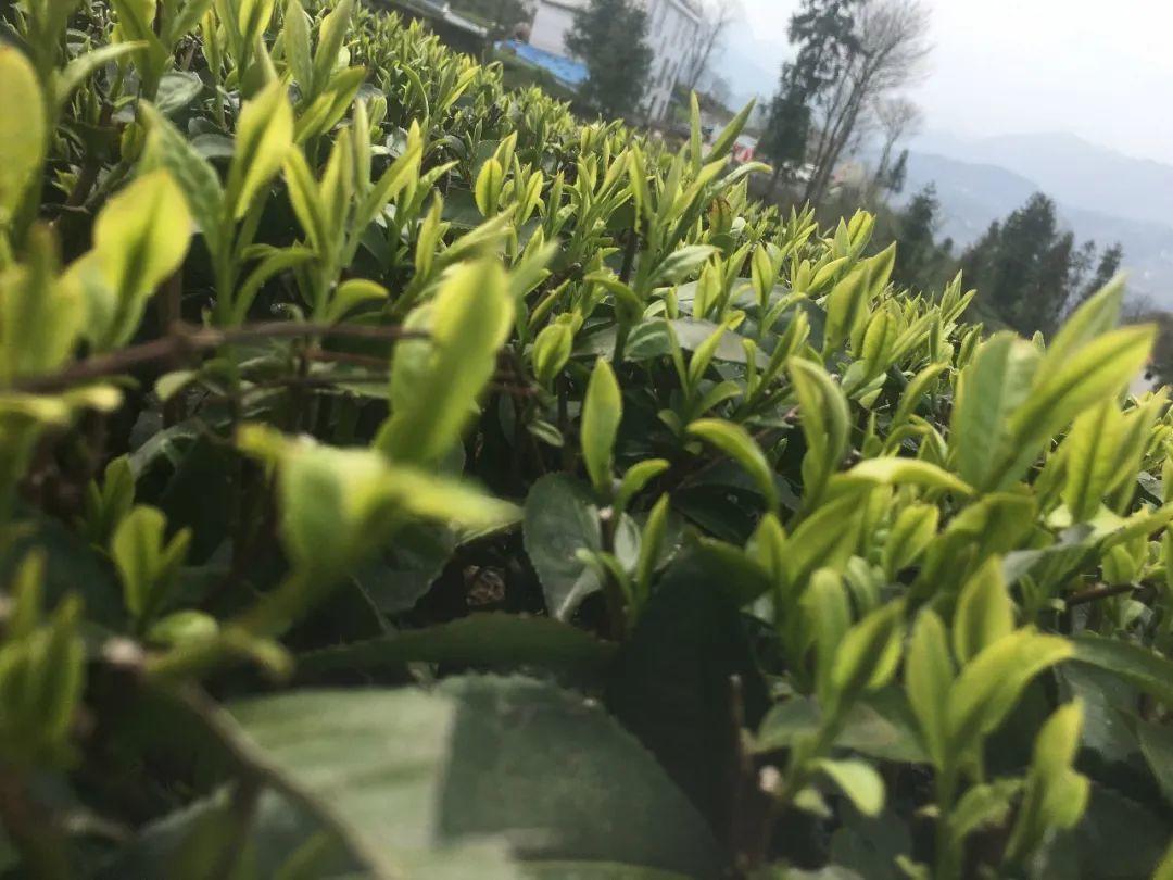 春茶采茶季 | 五峰茶农采摘忙