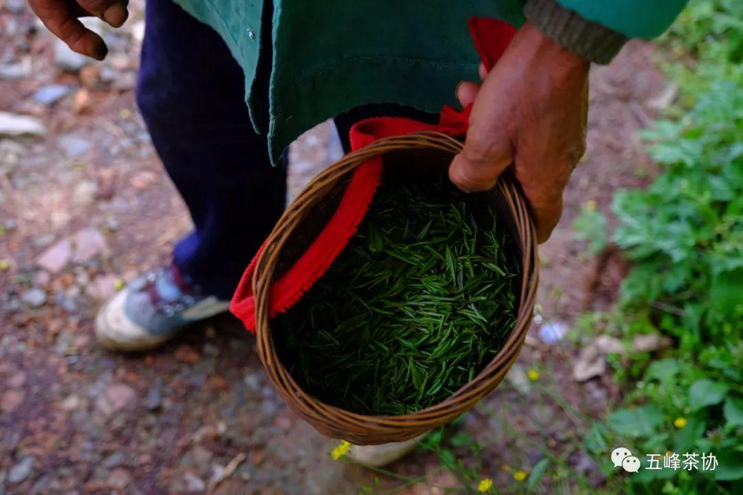 五峰茶的幕后英雄——茶农
